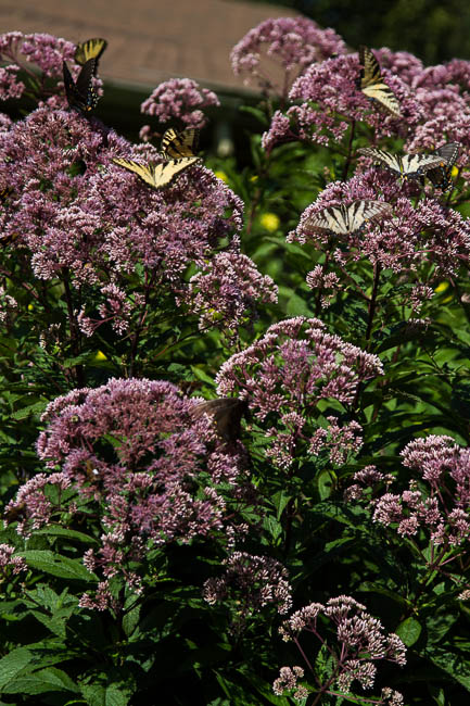 Swallowtail butterflies on Joe Pye Weed