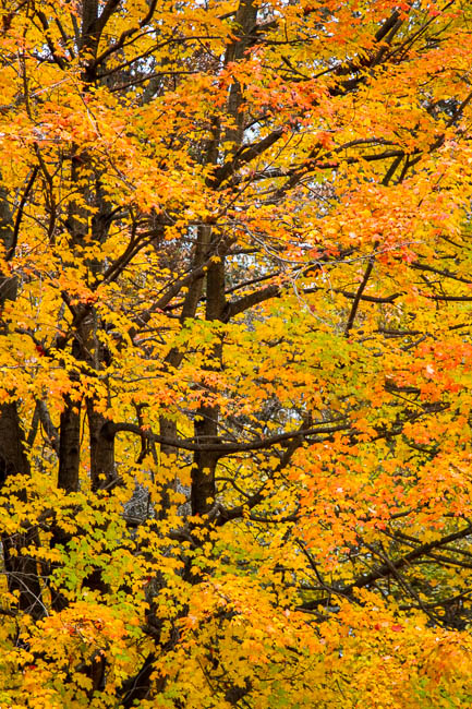 A different Fall color variant of native Red Maple