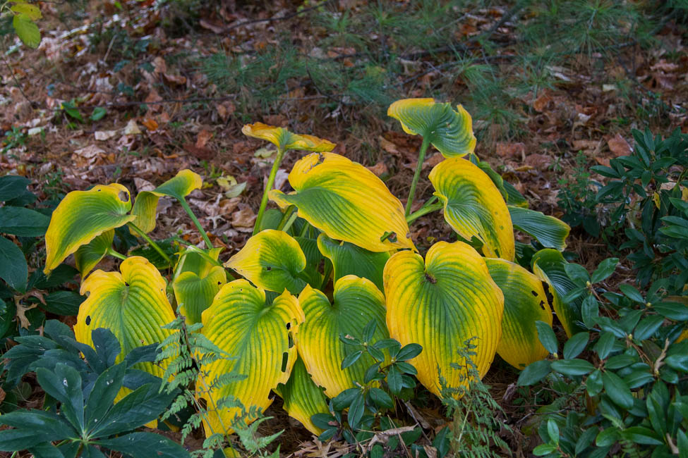 Good Fall color from Hosta