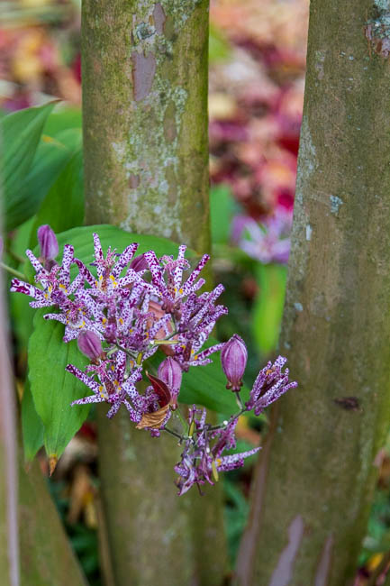 Toad Lily amongst Crepe Myrtle trunks