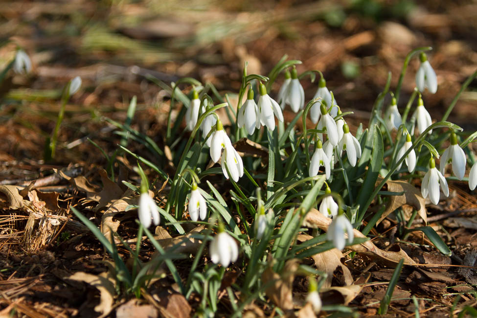 Snowdrops - a reliable late Winter bloomer
