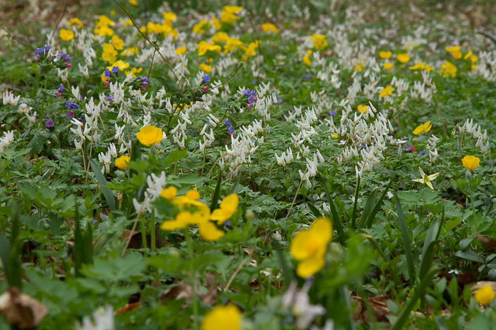 Dutchman's Breeches & Celandine Poppies carpet the woodland floor